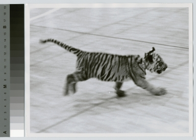 Student activities, Spirit, the Rochester Institute of Technology Tiger mascot, running across a gymnasium, [1963-1964]