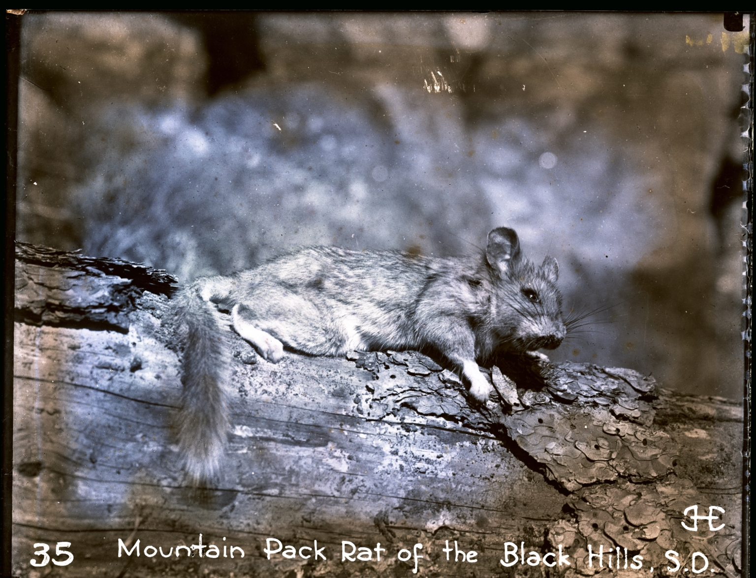 Mountain Pack Rat of the Black Hills, S.D.